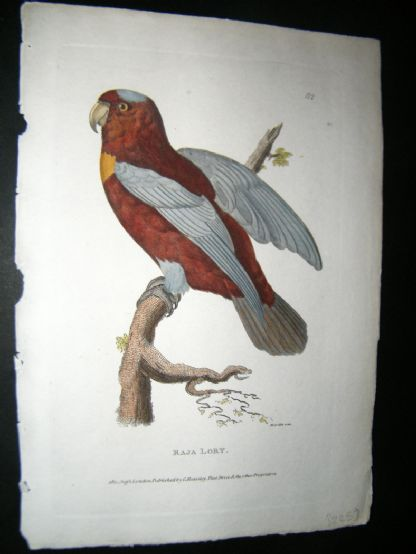 Shaw C1800's Antique Hand Col Bird Print. Raja Lory Parrot